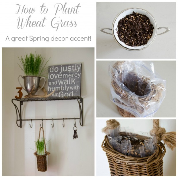 how to plant wheat grass for spring decor